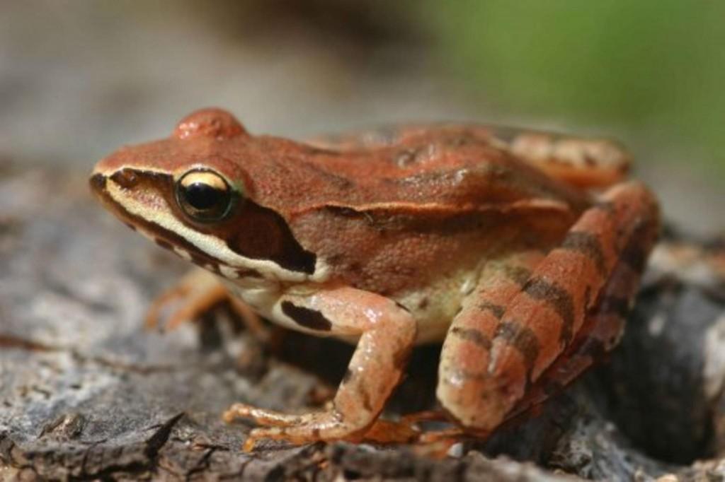 Горска дългокрака жаба