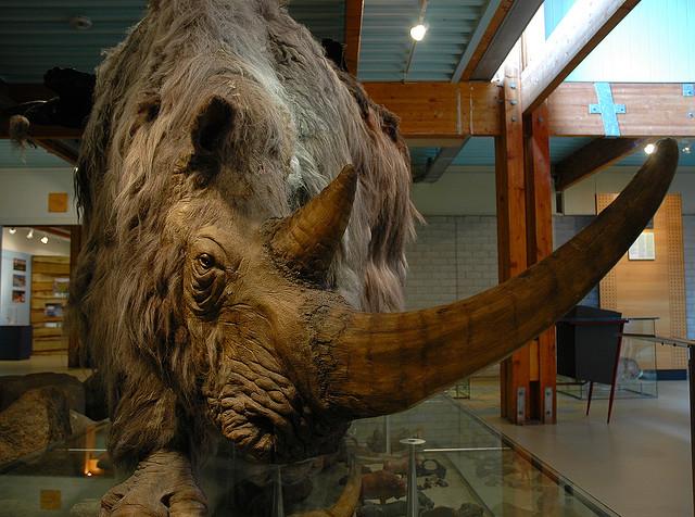 Космати носорози