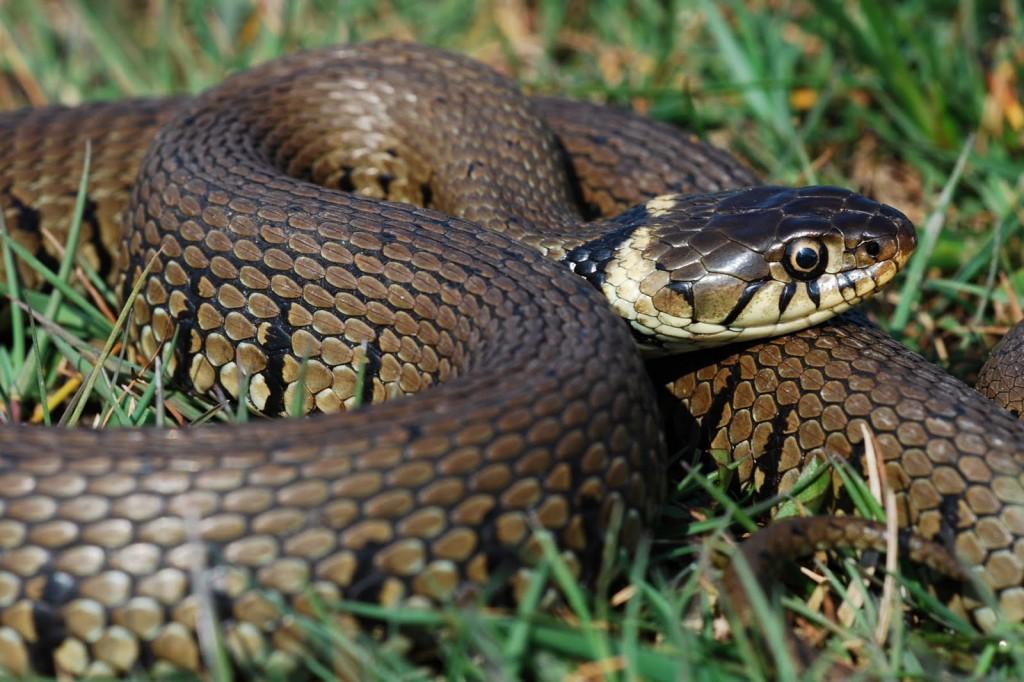 Обикновена водна змия
