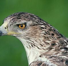 Ястребовиден орел