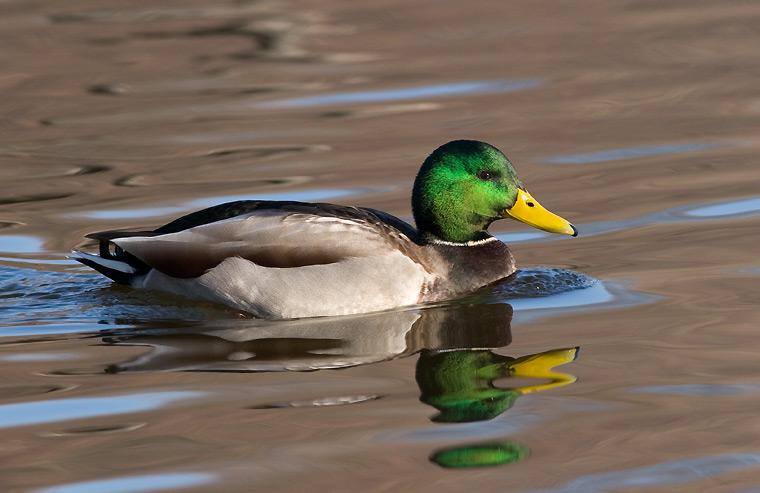 Зеленоглава дива патица
