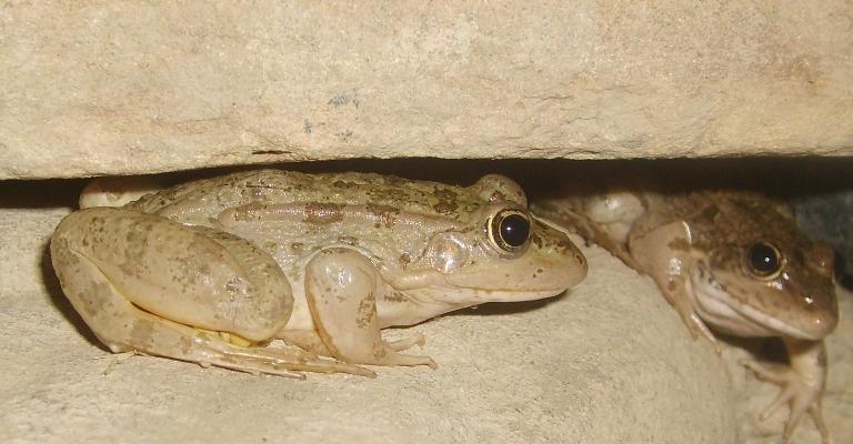 Водна жаба
