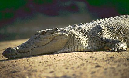 Гребенест крокодил