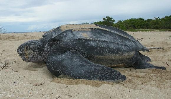 Кожеста костенурка