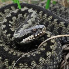 Колко са отровните змии в България