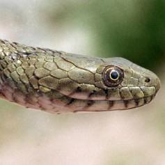 С какво се храни водната змия