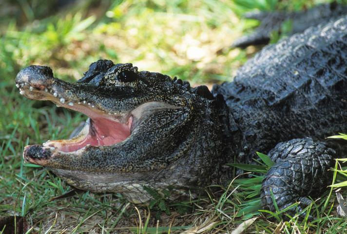 Китайски алигатор