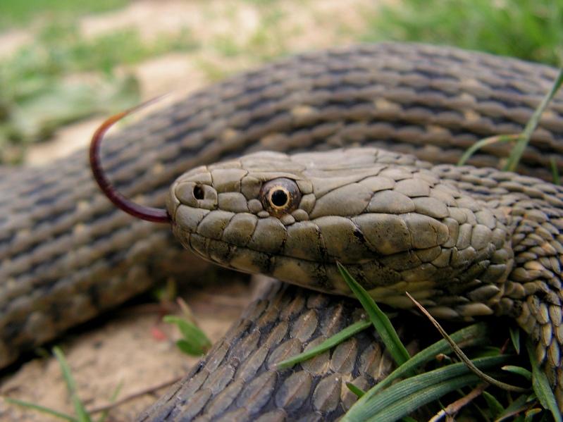 Водна змия
