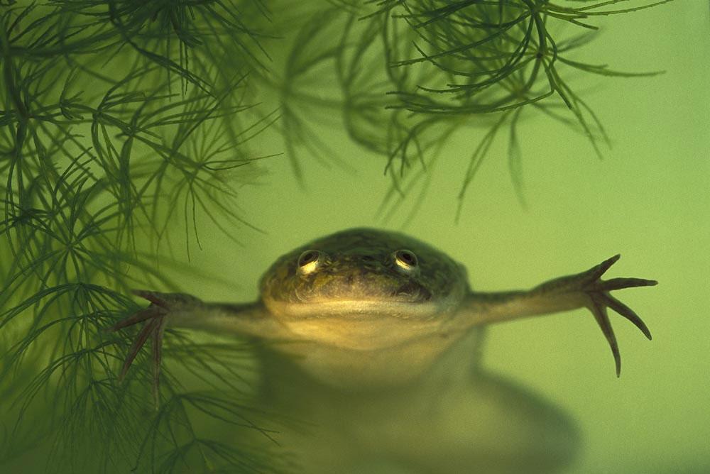 Ноктеста жаба