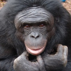 Как шимпанзето лови термити
