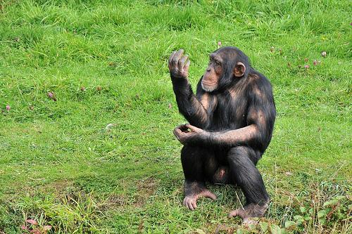 Шимпанзето