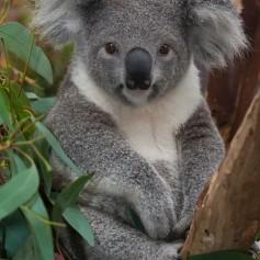 С какво се храни коалата
