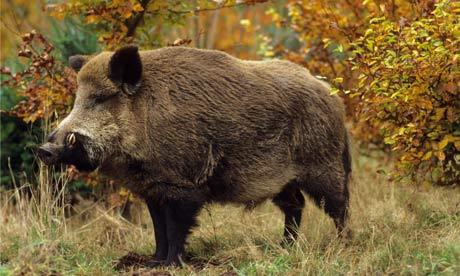 Дивата свиня