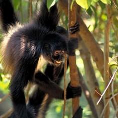 Колко ловка е маймуната – паяк