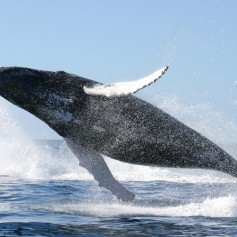 Синият кит – най-голямото животно