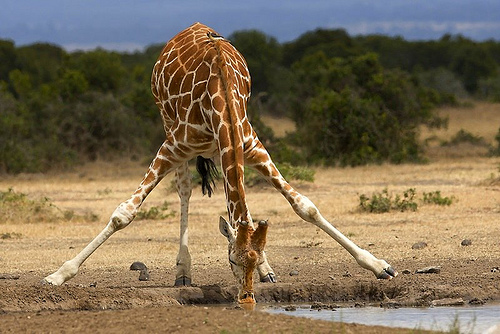 Жирафът