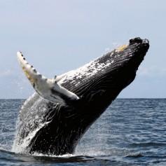 Колко храна поглъща синия кит