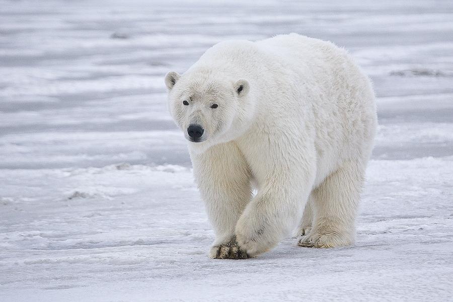 Бяла мечка