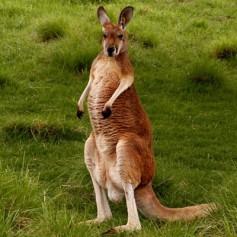 Кенгуруто – най-голямото животно в Австралия