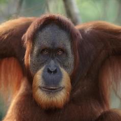 Горският човек – орангутан