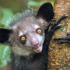 Ай ай – маймуната със зъби на гризач