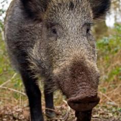Как дивата свиня търси храна