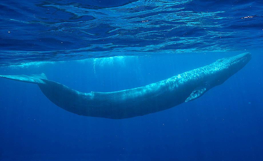 Синия кит