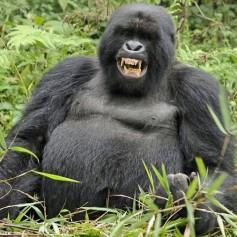 Къде и как живее горилата