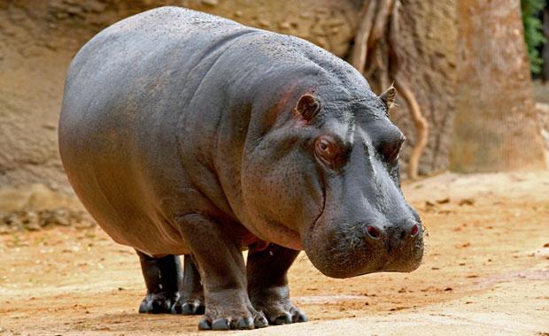 Хипопотамът