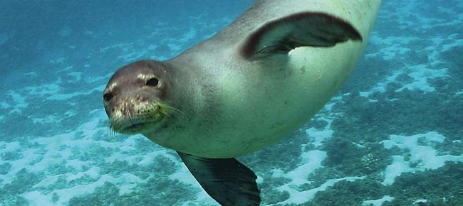 Тюленът