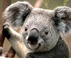 Мечка ли е коалата