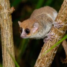 Колко малка е най-малката маймуна