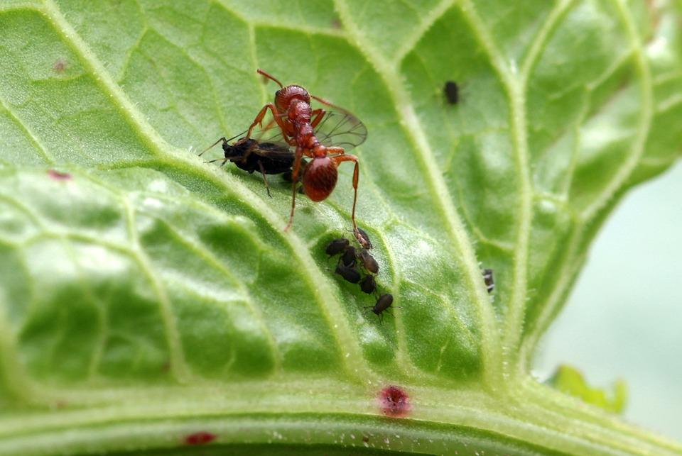 Мравки с крила на листо