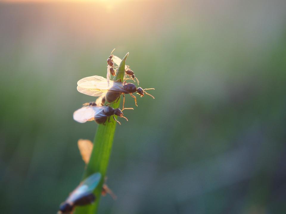 Крилати мравки