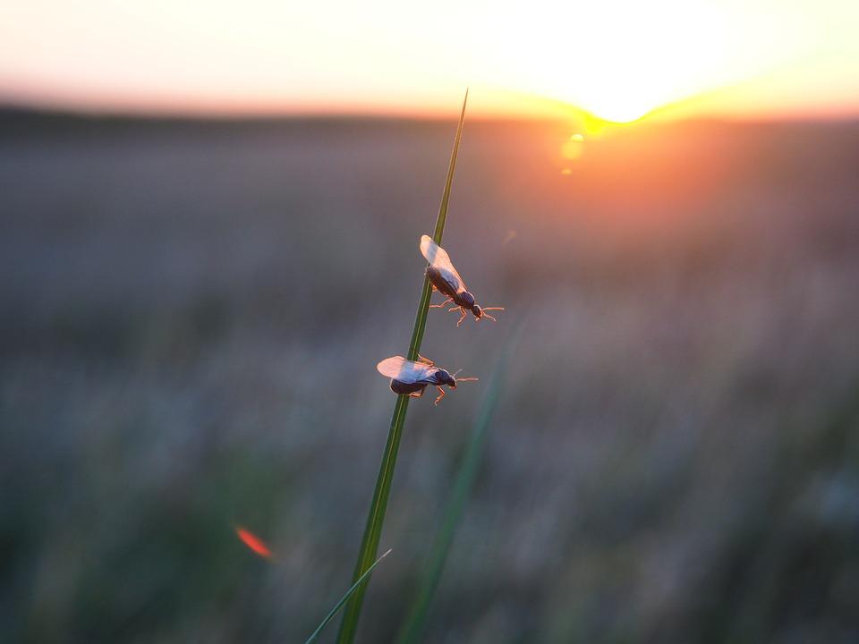 Мравка с крила